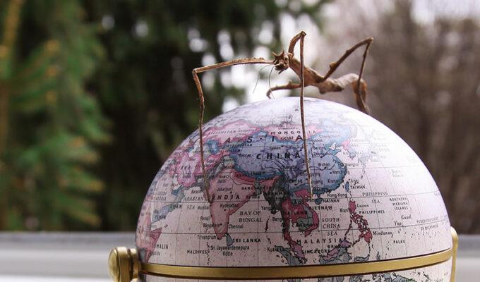 Vietnamese walking stick standing on a miniature globe model, photographed by Ivan Kralj