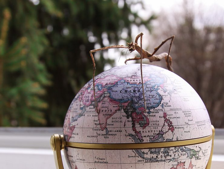 Vietnamese walking stick standing on a miniature globe model, photographed by Ivan Kralj