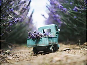 Vintage toy truck collecting lavender in lavander field, photo by Kim Leuenberger