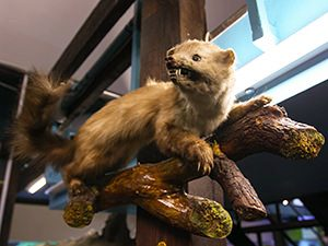 Stuffed weasel showing teeth as an example of interior decoration at Romanian Kitsch Museum in Bucharest, Romania, photo by Ivan Kralj