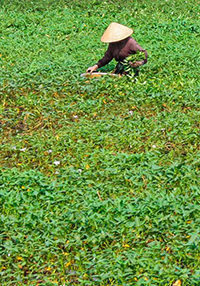 Vietnamese peasant picking vegetables in the field, photo by Ivan Kralj