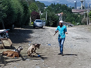 Man walking with a knife on the makadam street of Addis Ababa, Ethiopia, while the goat that was laying on the grounds starts to run, photo by Ivan Kralj