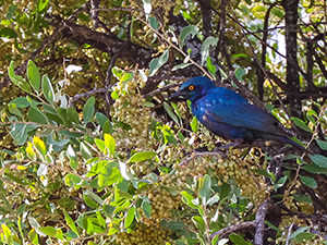 Blue feathered bird in the tree at Gheralta Lodge, in Tigray Region, Ethiopia, photo by Ivan Kralj