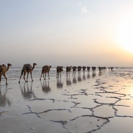 Camel caravans transporting the salt at the plains of Lake Assale during the sunset, Danakil Depression, Ethiopia, the hottest place on Earth, photo by Ivan Kralj