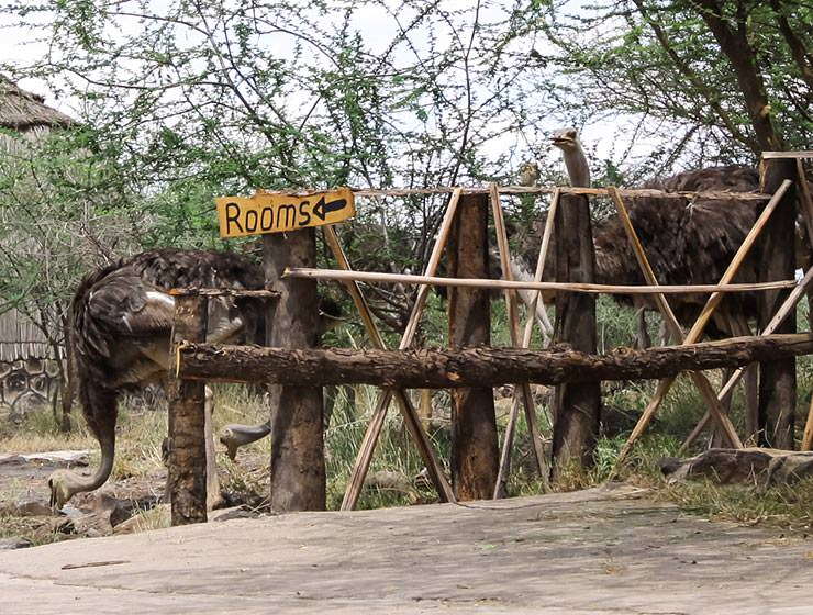 "Ostriches eating grass next to the ""rooms"" sign at Doho Lodge, one of Ethiopian wildlife lodges, photo by Ivan Kralj"