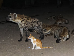 A domestic cat sitting next to the pack of hyenas in the Ethiopian city of Harar, photo by Ivan Kralj