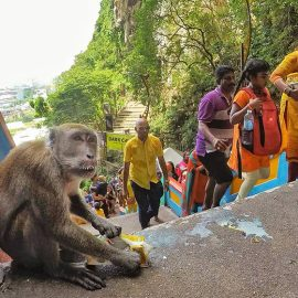 Monkey drinking milk from the damaged pack on the stairs to Batu Caves, Malaysia, during the Thaipusam Festival 2019, photo by Ivan Kralj