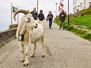 A goat and passers-by on Mt. Floyen above Bergen, Norway, the wettest place in Europe, photo by Ivan Kralj