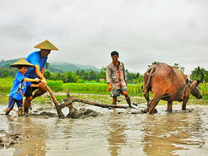 A boy and his father plow a rice field following a buffalo on a Living Land Farm, part of Backstreet Academy experience, one of the best things to do in Luang Prabang, Laos, photo by Living Land Lao