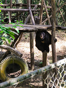 Moon bear hiding from the sun at Bear Rescue Center, while balancing on a wooden pier, close to Kuang Si waterfalls, Laos, photo by Ivan Kralj