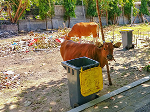 Cows eating garbage in Bali, Indonesia, photo by Ivan Kralj