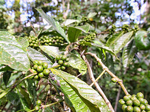 Coffee plant at Munduk Moding Plantation, the only resort set on a working coffee plantation in Bali, Indonesia, photo by Ivan Kralj